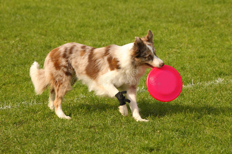 Download Border collie stock image. Image of field, beautiful - 25885477