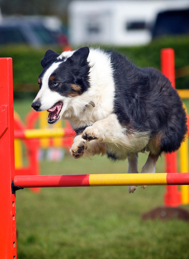 Border Collie. Turning in mid air royalty free stock images
