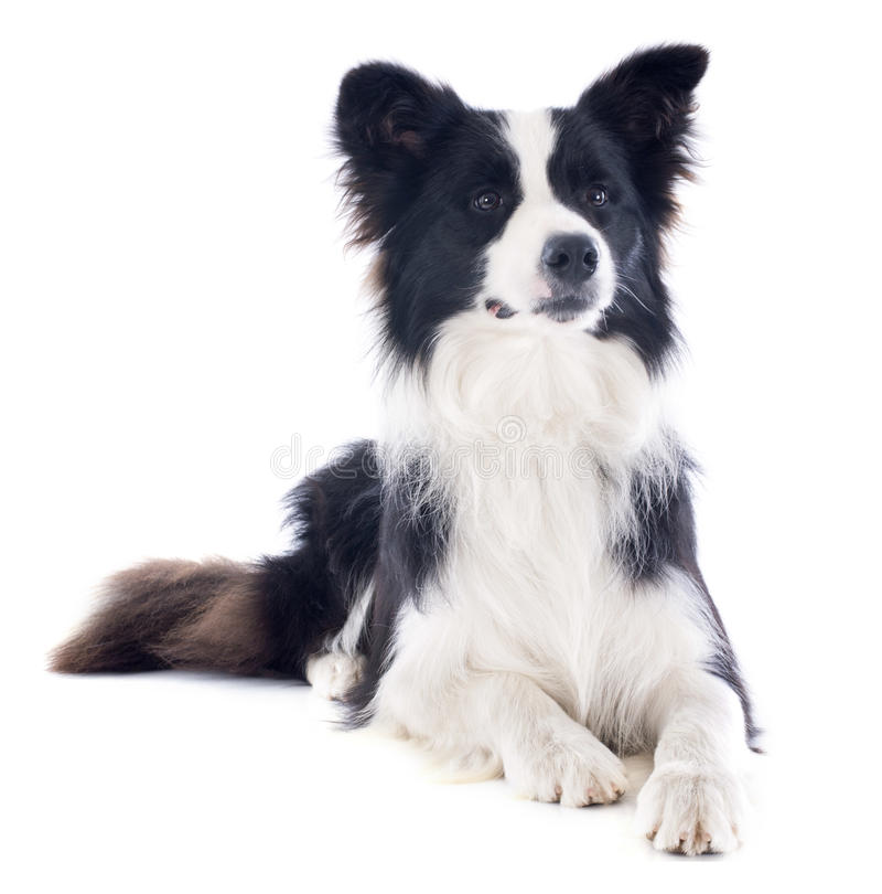Border collie obraz royalty free