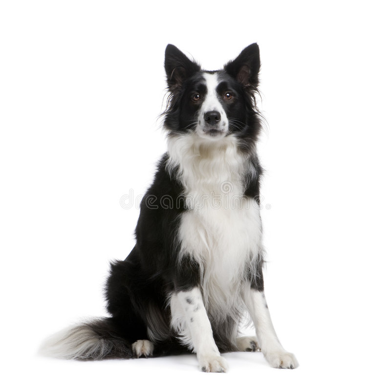 Border Collie (4 years) stock image