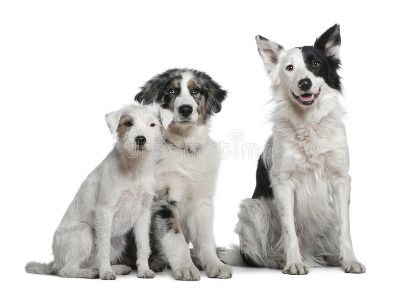 Border collie, 4 years old, Parson Russell royalty free stock images