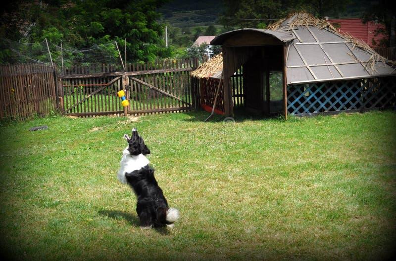Download Border collie foto de archivo. Imagen de jardín, bola - 41917302