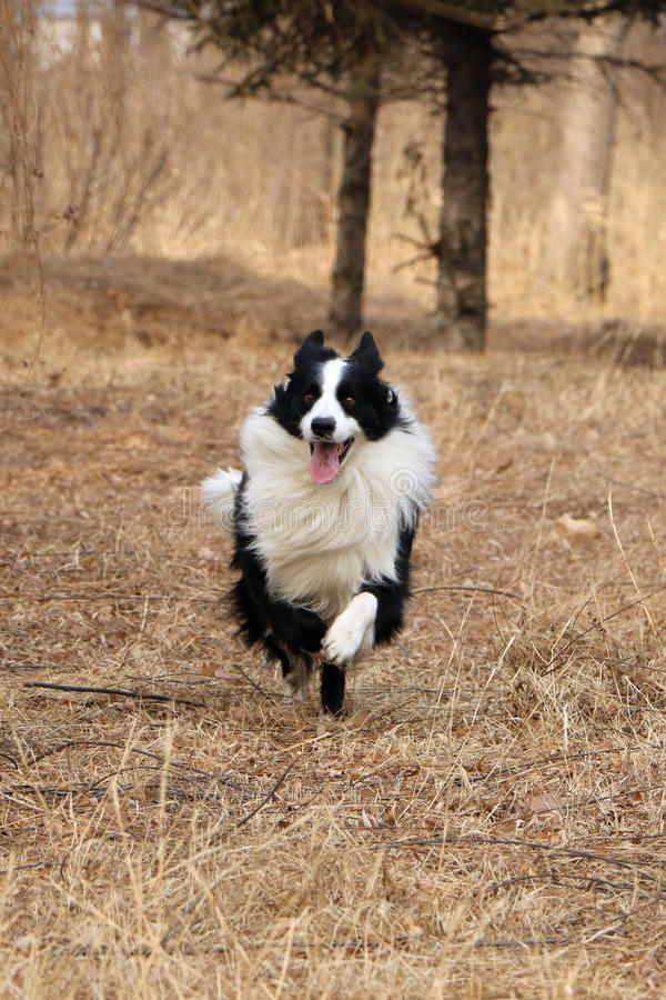 Border collie stock foto's