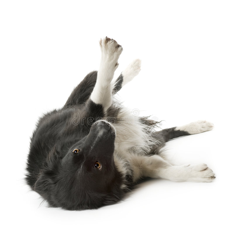 Download Border Collie (5 Years, 6 Months) Stock Photo - Image: 4681926