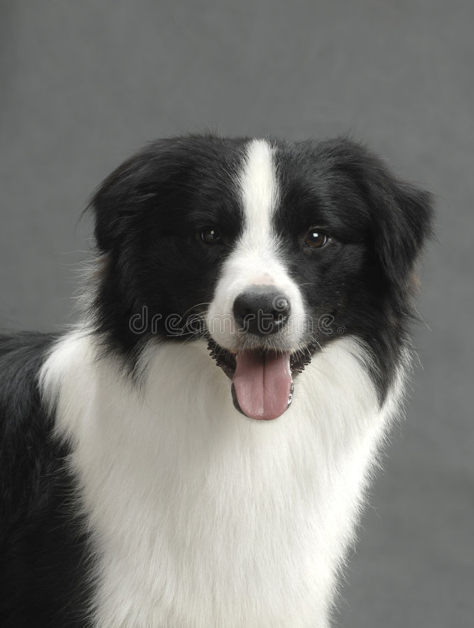 Free Border Collie Royalty Free Stock Photo - 6787945