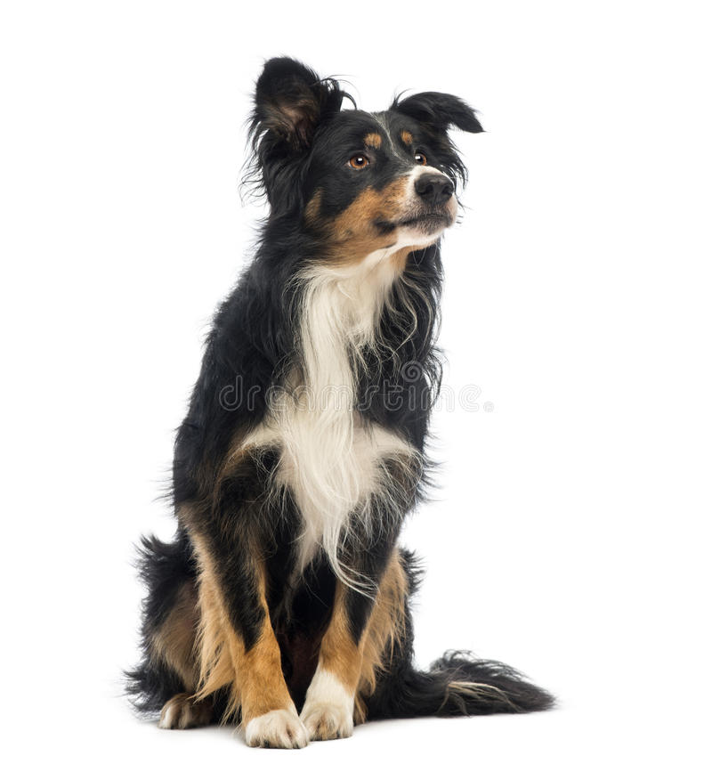 Border Collie, 8.5 years old, sitting and looking up. In front of white background stock images