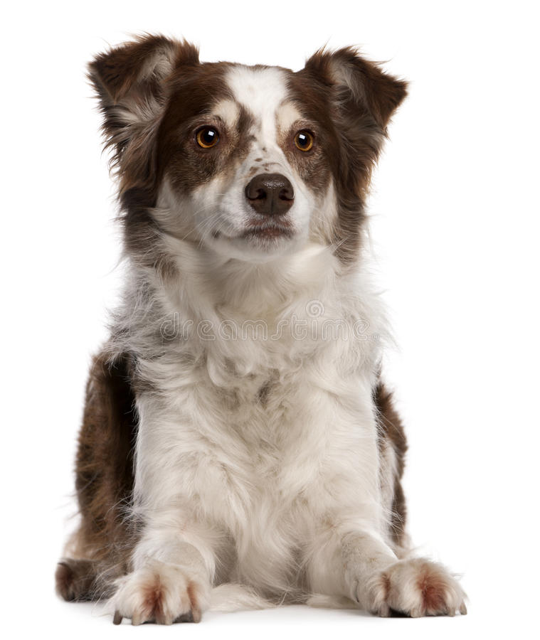 Download Border Collie, 8 Months Old, Sitting Stock Photo - Image of furry, pedigreed: 17255332