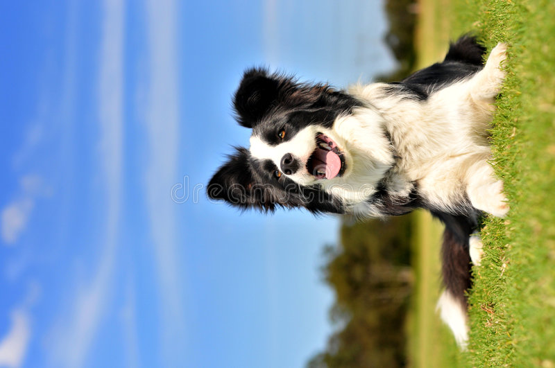 Border Collie. A Happy Border Collie on a beautiful day