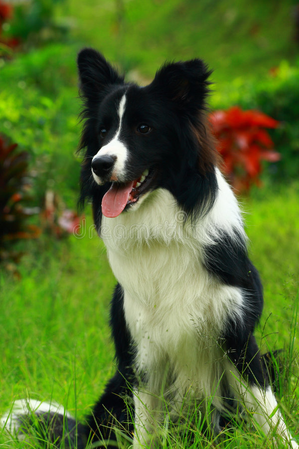 Border collie. A happy puppy border collie portrait royalty free stock photos