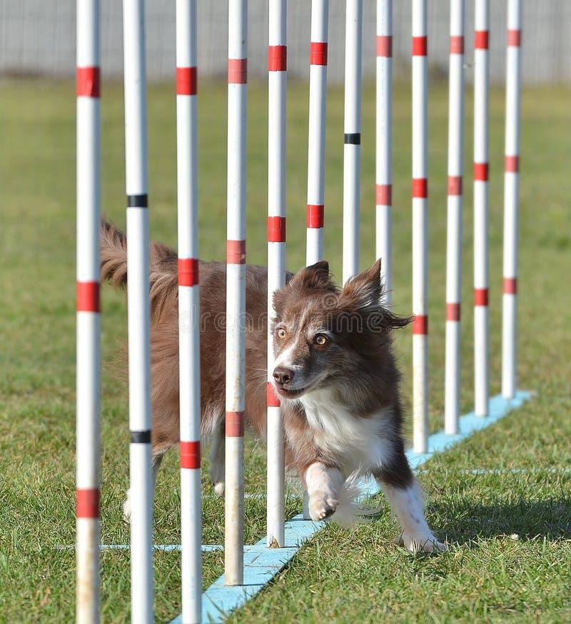 Border collie ad una prova di agilità del cane immagine stock
