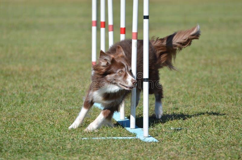 Border collie ad una prova di agilità del cane fotografia stock