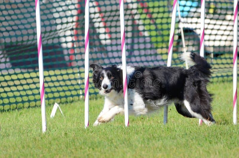 Border collie ad una prova di agilità del cane immagini stock libere da diritti
