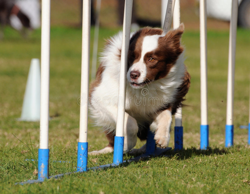 Border Collie agility. Border Collie dog weaving fast stock photography