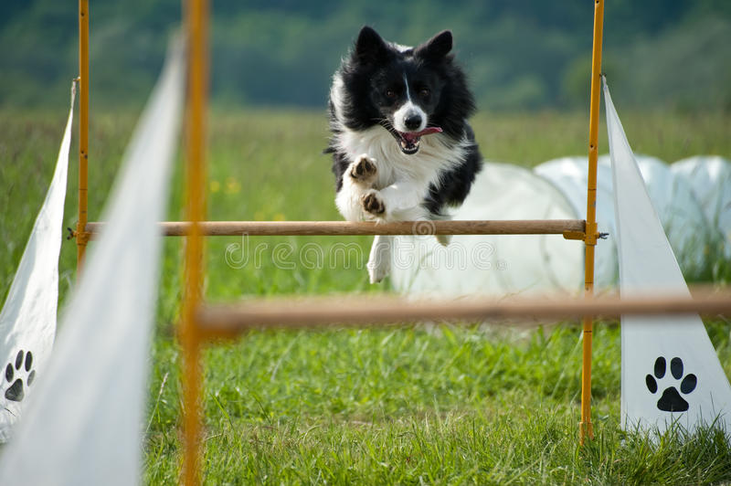 Border collie on agility course. Jumping border collie on agility course royalty free stock images