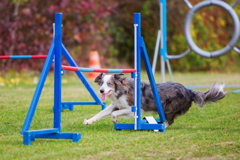 Border collie on an agility course. Border collie runs on an agility course stock images