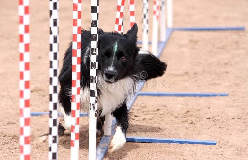 Border Collie agility poles stock photo
