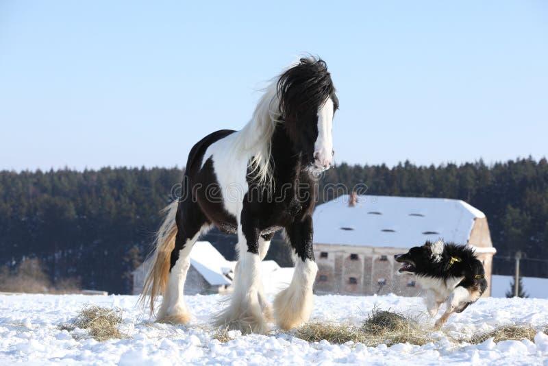 Border collie agradable que juega con un caballo imagen de archivo libre de regalías