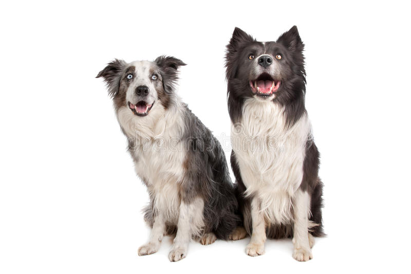 Border Collie And Australian Shepherd Royalty Free Stock Photography