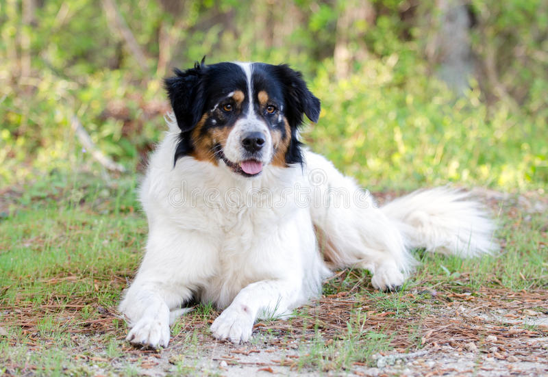 Border Collie Australian Shepherd mixed breed dog royalty free stock photo