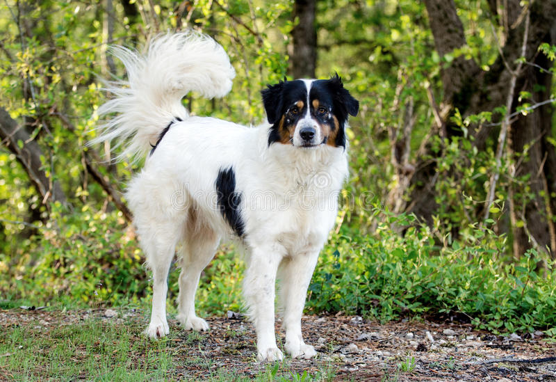 Border Collie Australian Shepherd mixed breed dog stock photos