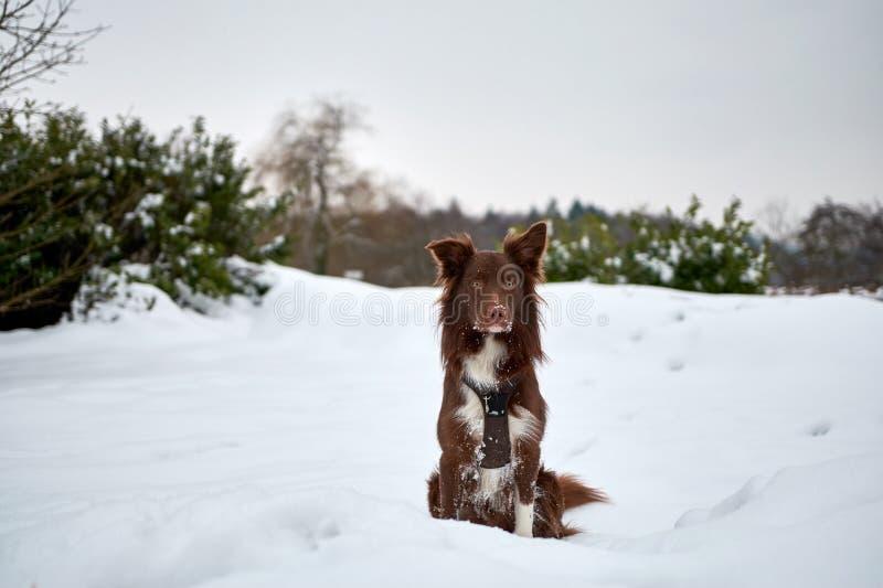 Border collie avel i snön royaltyfri fotografi