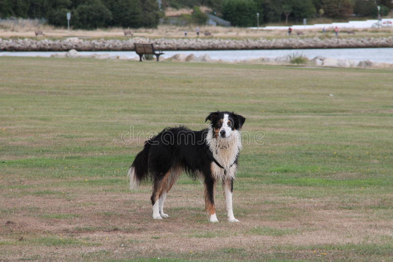 Border collie in Baiter-Park, Poole Dorset royalty-vrije stock foto