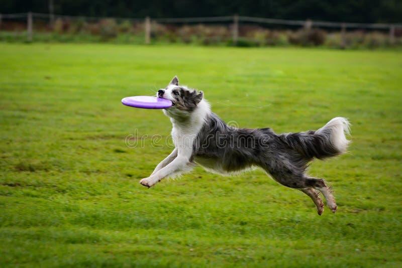 Border collie-Betrieb und anziehender Frisbee im Sprung lizenzfreies stockbild