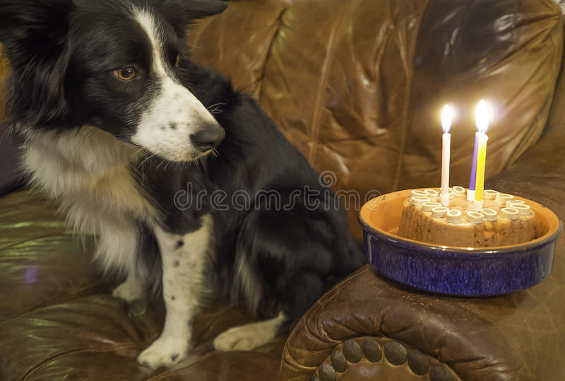 Birthday Cake. Border Collie with dog food birthday Cake and candles stock images