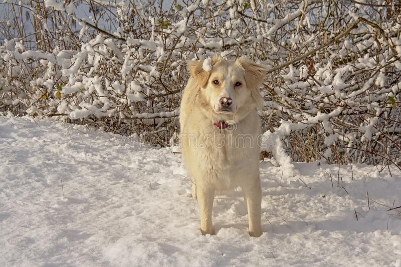 Border collie blanco en la nieve fotos de archivo
