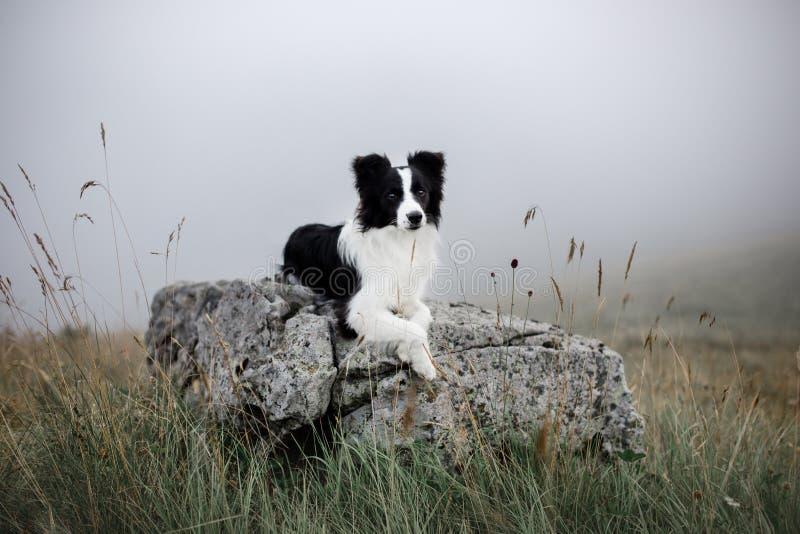 Border collie blanco y negro del perro puesto en roca en niebla con las flores imagenes de archivo