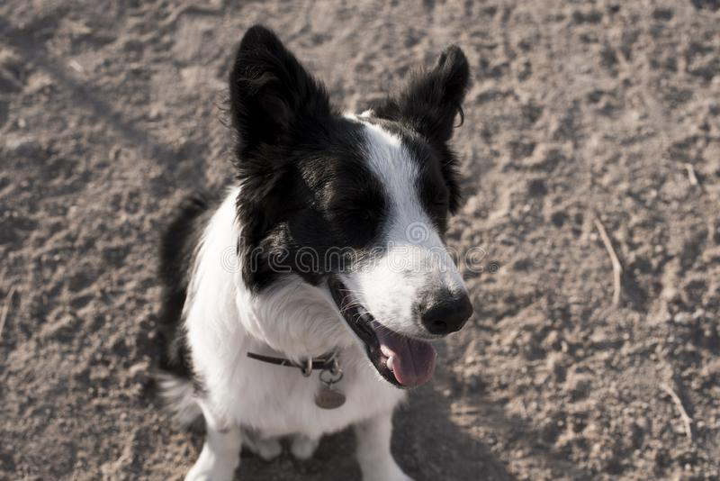 Border collie blinking in the hill royalty free stock image