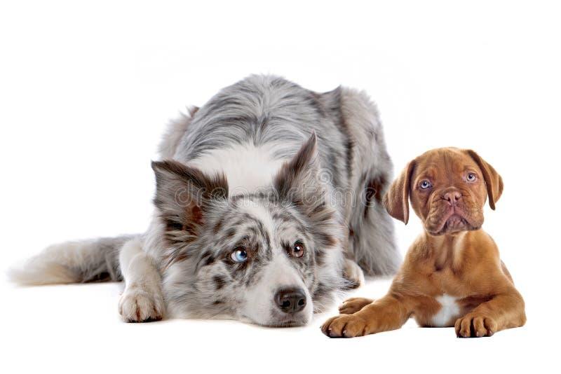 Border collie and bordeaux dog puppy stock photos