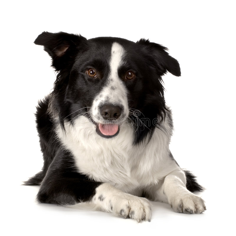 Download Border Collie Breed stock image. Image of collie, border - 2314065
