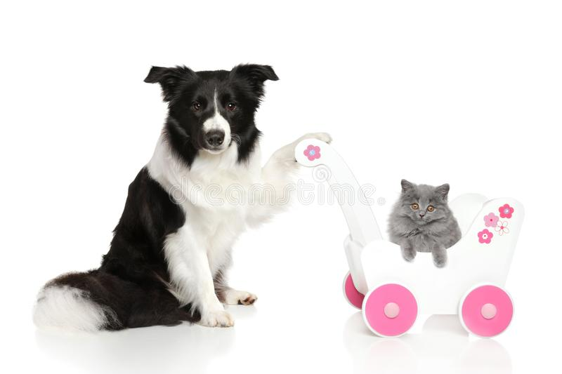 Border Collie with British kitten royalty free stock photo
