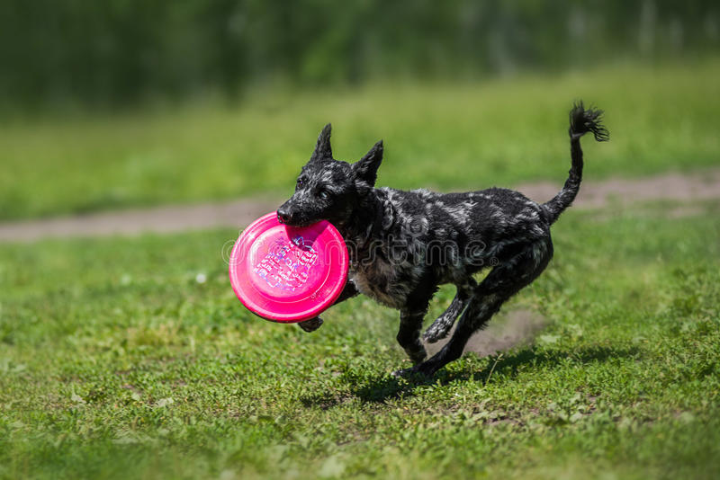 Border Collie catching a Frisbee Disc stock image