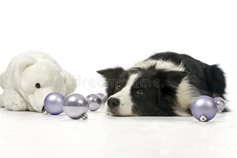 Border collie and christmas decorations. Border collie between christmas balls and stuffed animal, on a white background stock images