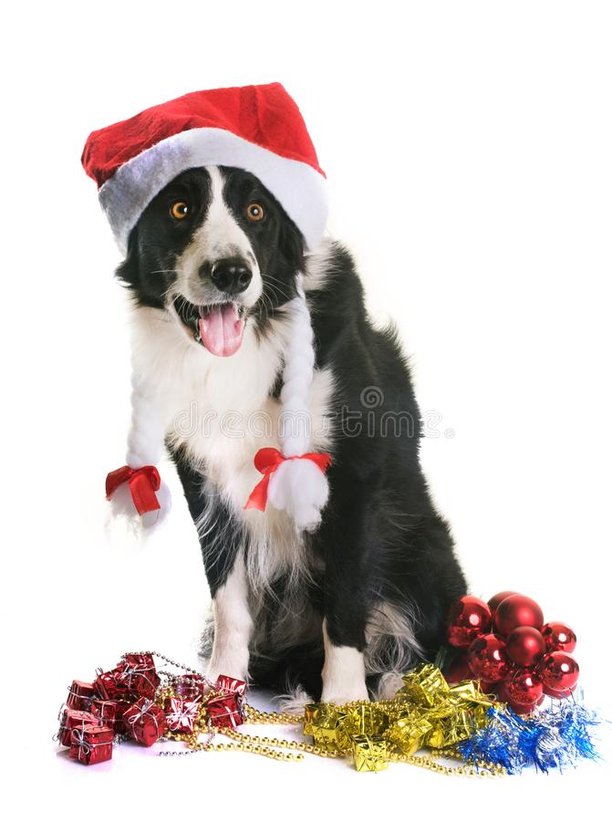 Border collie and christmas. In front of white background royalty free stock photography