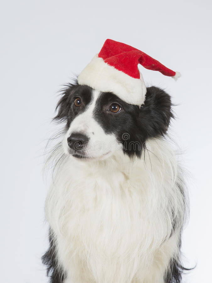 Border collie with a Christmas hat. Border collie dog posing with a Christmas hat. Image taken in a studio stock photo