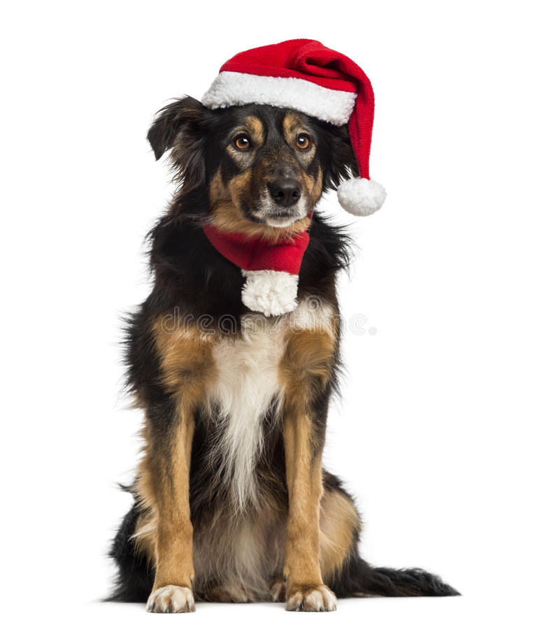 Border collie with christmas hat and scarf. Sitting, isolated on white stock photo