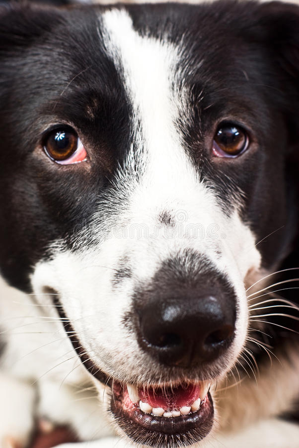 Border collie. close-up royalty free stock photos