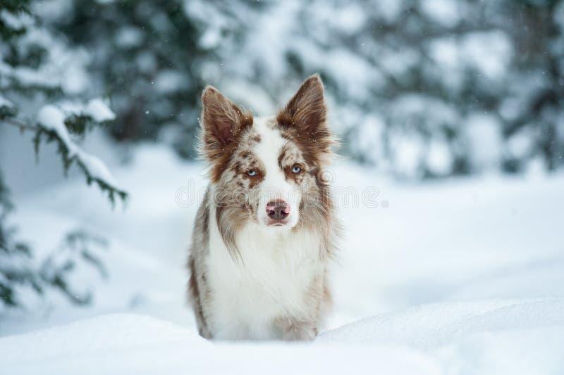 Border collie con el retrato del invierno de los ojos azules fotos de archivo libres de regalías