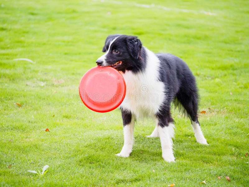 Border collie con il frisbee in bocca fotografia stock