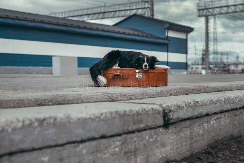 Border collie con la maleta fotos de archivo libres de regalías