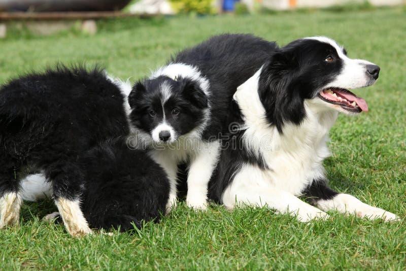 Border collie con los perritos imagen de archivo