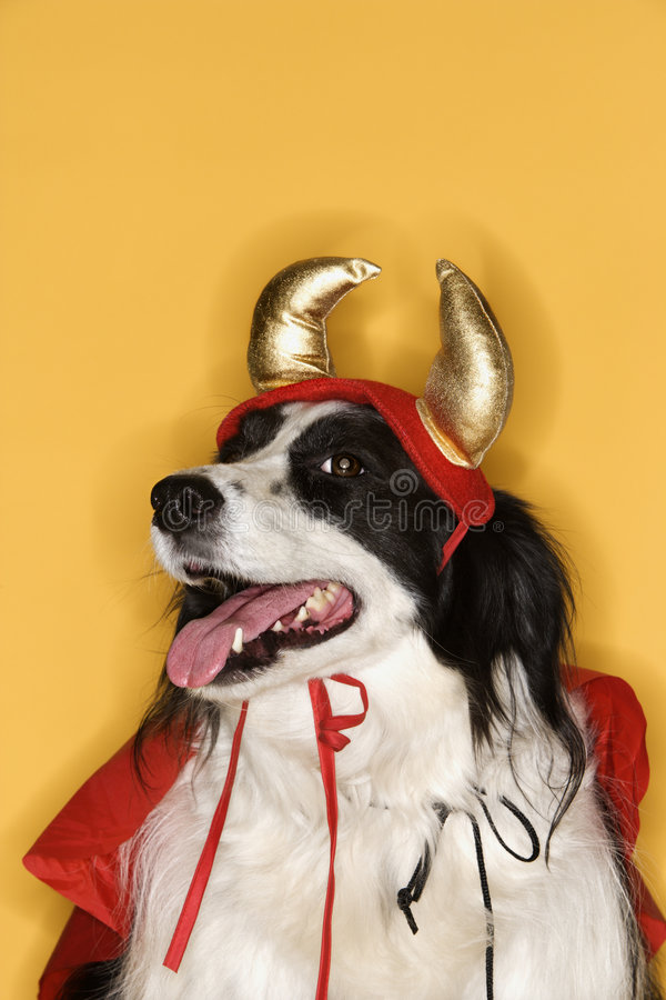 Border Collie in costume. stock photography