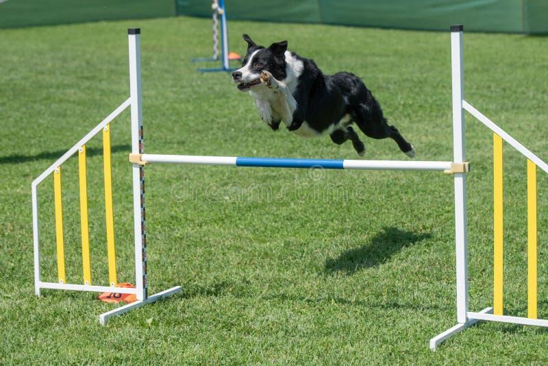 Border collie criado en línea pura del perro que salta sobre obstáculo en los comp de la agilidad imágenes de archivo libres de regalías