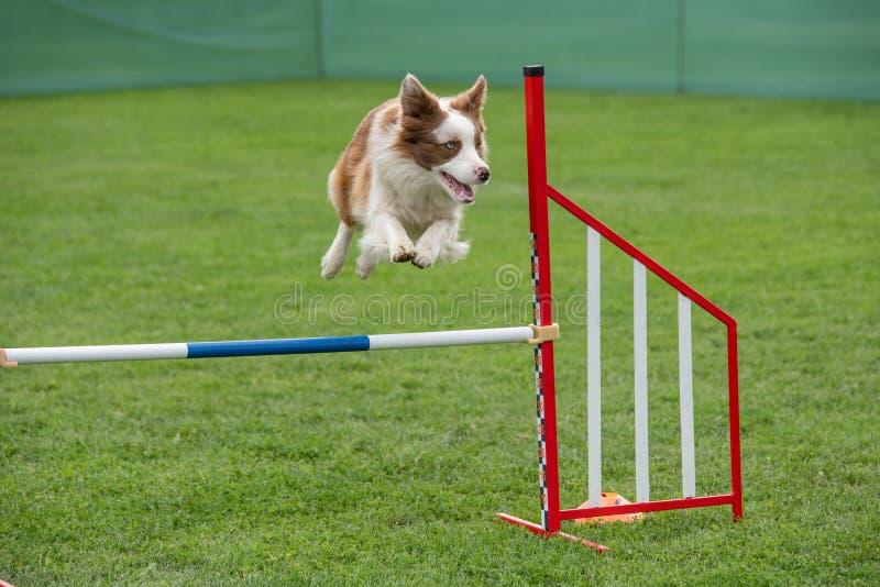 Border collie criado en línea pura del perro que salta sobre obstáculo en los comp de la agilidad imagen de archivo libre de regalías