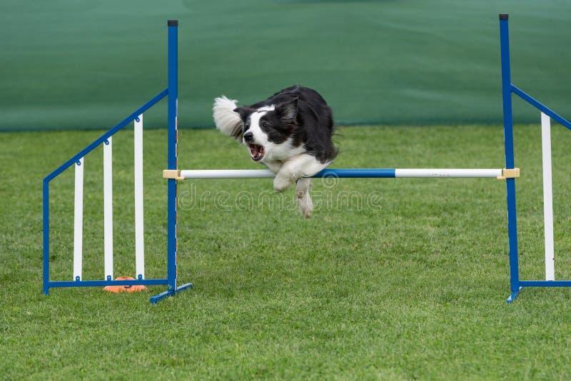 Border collie criado en línea pura del perro que salta sobre obstáculo en los comp de la agilidad fotos de archivo libres de regalías