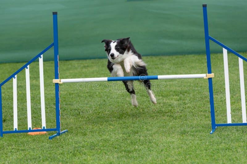 Border collie criado en línea pura del perro que salta sobre obstáculo en los comp de la agilidad imagen de archivo