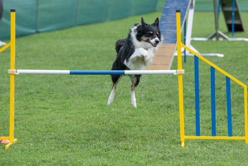Border collie criado en línea pura del perro que salta sobre obstáculo en los comp de la agilidad imagenes de archivo